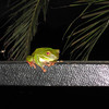 Tree frog at our hostel