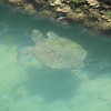 Turtle in Coffs Harbour