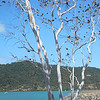 Nikki likes this tree on Airley Beach. It's like a birch tree except it's not.