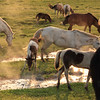 Near the hot springs, horses seemed to be enjoying some hot water streams
