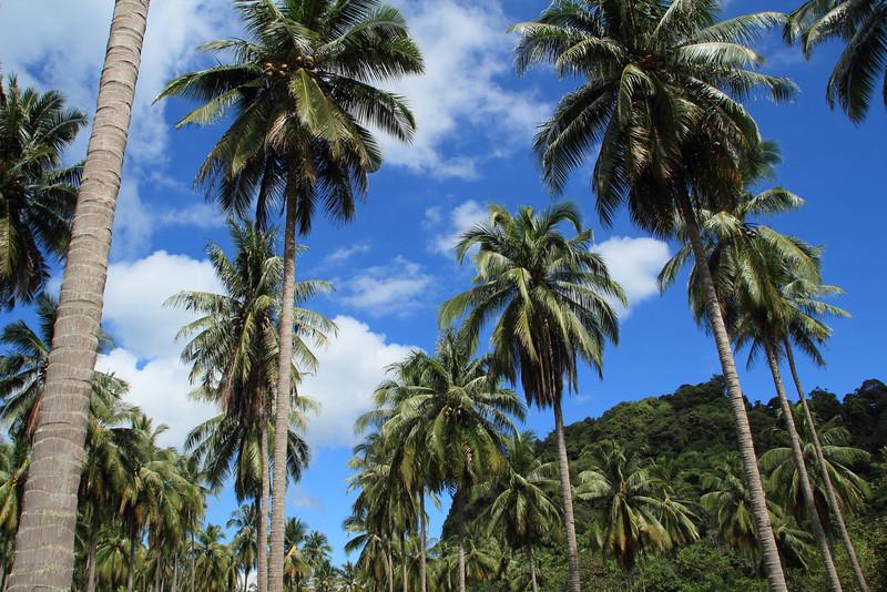 Ko Tarutao palm trees