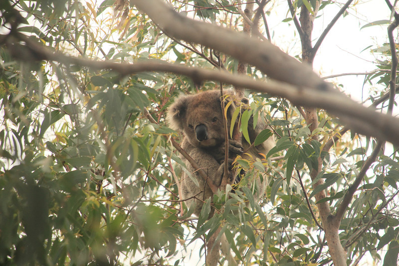 Koalas are usually asleep most of the day. This one woke up because the wind was shaking his tree a little too much.