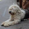 A very shaggy dog