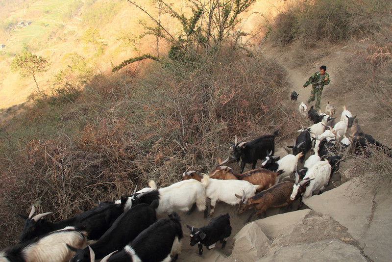 Goats being herded along