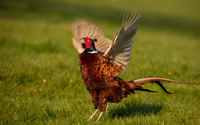 Flapping Pheasant