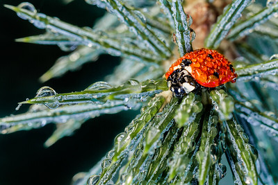 Dew Covered Lady Beetle