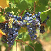Sangiovese grapes, which must account for 80% of Chianti Classico wines to receive DOC appellation.