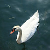 Swan in Lake Como