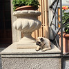 A lazy pug in Bellagio