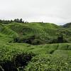 Hills of tea plants