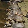 Sacred tortoises at Sam Poh Tong temple