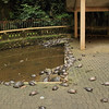 The sacred turtle pond at Sam Poh Tong