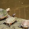 Sacred turtles at Sam Poh Tong