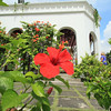 Hibiscus, the national flower of Malaysia