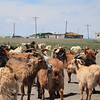 We ran into a pack of goats in the road near a village