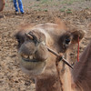 Camels, ready for a ride