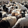 Lots of sheep and goats in for milking