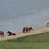 Horses having a Beach Day at White Lake