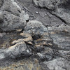 Curio Bay, a petrified forest some 180 million years old