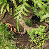 A Tuatara, a reptile with a lineage going back 200 million years
