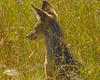 Black-backed Jackal<br /> (Canis mesomelas)<br /> Serengeti, Tanzania