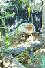 Saltwater Crocodiles on nest