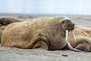 Atlantic walrus (Odobenus rosmarus rosmarus)