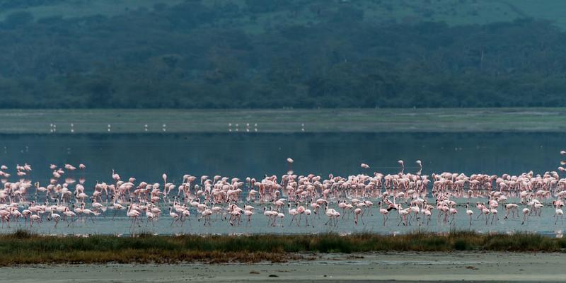 Lesser flamingoes (Phoeniconaias minor) on Lake Magadi