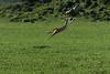 Caracal (Caracal caracal) versus Abdim's stork, (Ciconia abdimii)