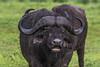African buffalo or Cape buffalo (Syncerus caffer