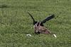 Golden jackal (Canis aureus) versus Abdim's stork, (Ciconia abdimii)