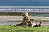 Lesser flamingo (Phoeniconaias minor) and Lions (Panthera leo) at Lake Magadi