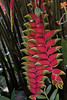 Hanging Lobster Claw Heliconia  (Heliconia rostrata)