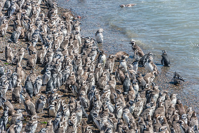 Magellanic Penguins Colony