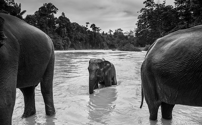 Sumatran elephants cool off in the river at a conservation site in Sumatra, Indonesia. November 2017.