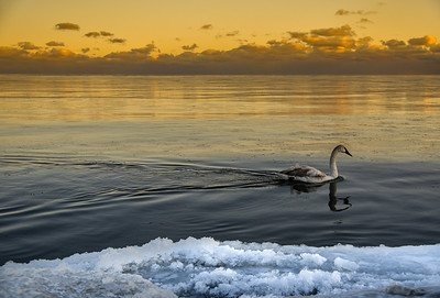 A swan goes for a mid-winter swim on Lake Ontario, Canada. December 2017.