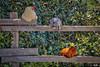 village of arroyo grande chickens 3916-