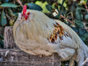 village of arroyo grande chicken 3855-