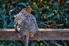 village of arroyo grande chicken 3849-