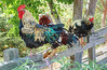 Arroyo Grande Famous Roosters & Chickens