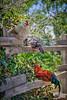 village of arroyo grande chickens 3861-