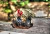 arroyo_grande-chickens_0069