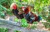 arroyo-grande-chickens_0067