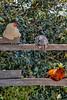 village of arroyo grande chickens 3917-