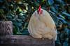 village of arroyo grande chicken 3859-