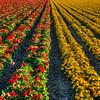 flower field 2871-