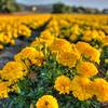 flower field 2879-