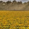 flower field 2872-