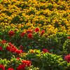 flower field-2869