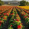 flower field 2883-